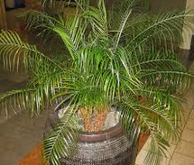 pigmy date palm plant